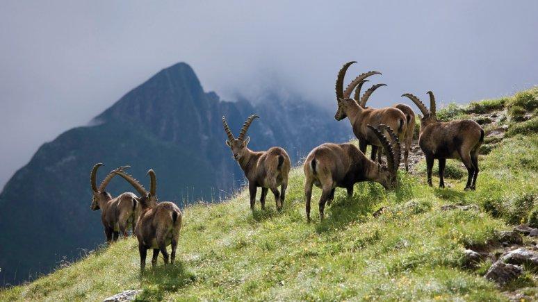 Ibex in the Hohe Tauern National Park, © Tirol Werbung/Bernd Ritschel
