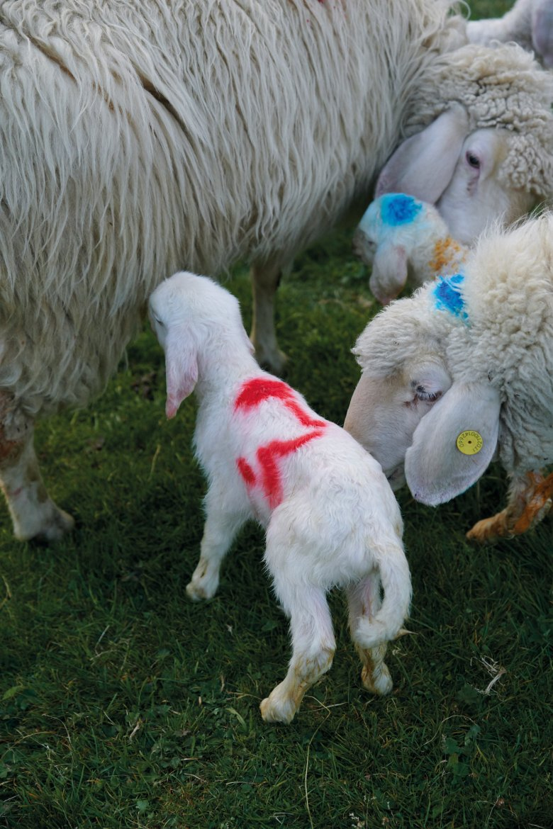 The female mother sheep is called a ewe. If the little lamb is happy and able to drink from the udder, it wags it tail.