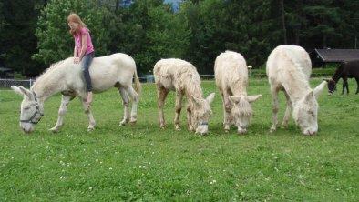 weiße_Esel_Nattererboden, © Wirtshaus Nattererboden