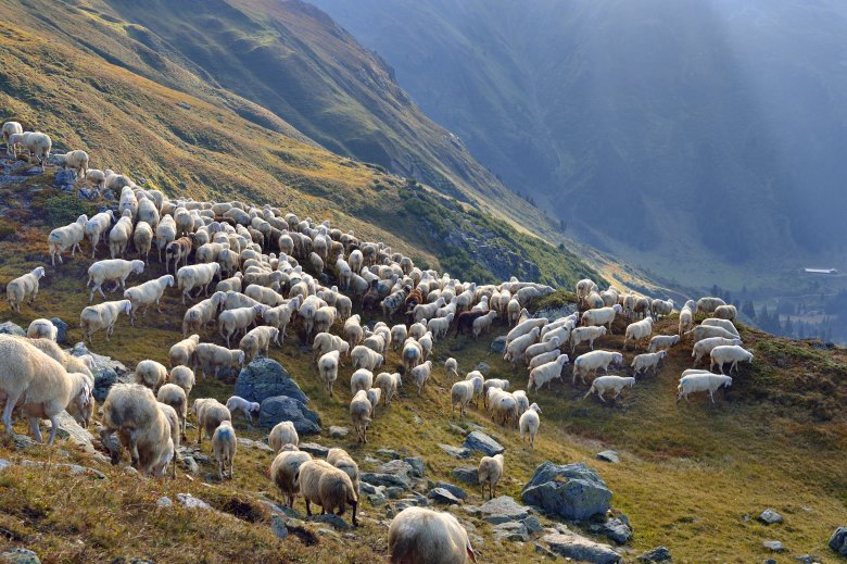 The Tirol Mountain Sheep is a breed of tough-as-nails sheep, living in harsh conditions where normal sheep wouldn't survive.