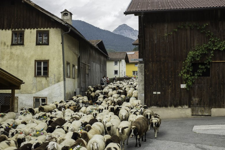 Around noon, sturdy locally-bred woolies are charging down narrow Trujegasse Lane.