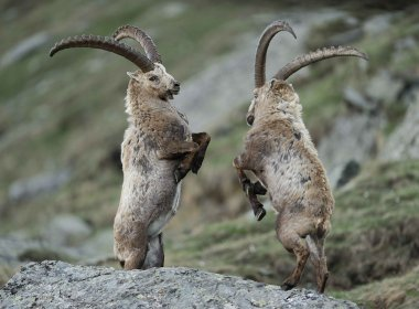 The Alpine ibex (Capra ibex) is a species of wild goat that lives in Austria's Hohe Tauern National Park