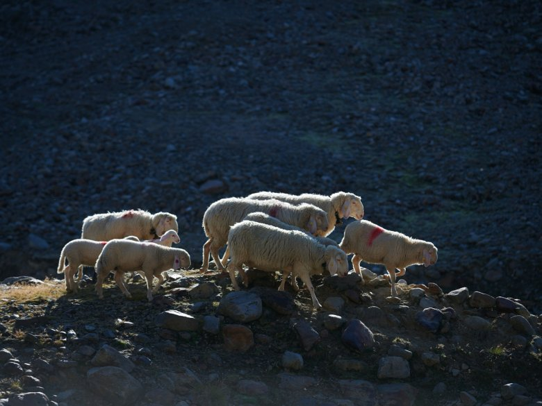 Sheep are social and sensitive animals. If one member of the flock dies, the rest mourn. Mööööh!