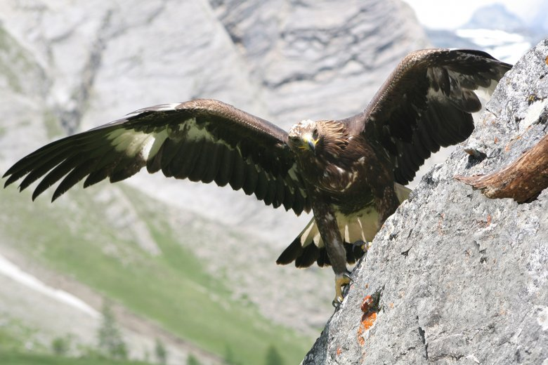 The majestic golden eagle is widespread in East Tirol. , © Hohe Tauern National Park