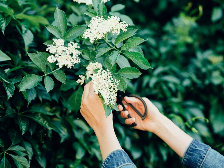 We recommend cutting the blossoms rather than picking them.