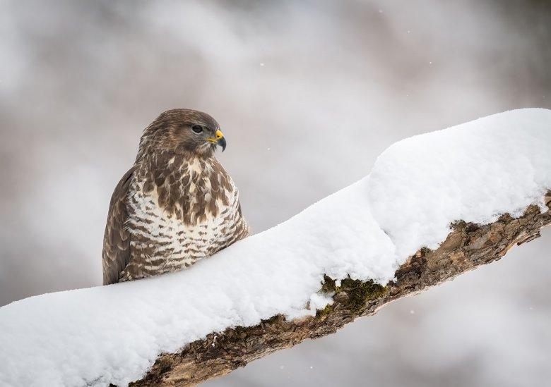 Birds of prey like this common buzzard in Stubai Valley can often be seen near highways or main roads in the winter.