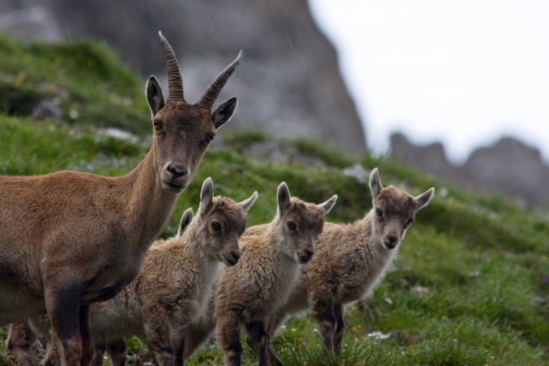 Chamois can be found in the Nordkette mountains above Innsbruck. , © Tirol Werbung / Patrick Centurioni