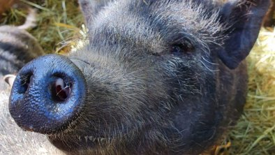 Ausflugsziel_Ahorn_Filzenalm_Schweine, © Ahorn_Filzenalm