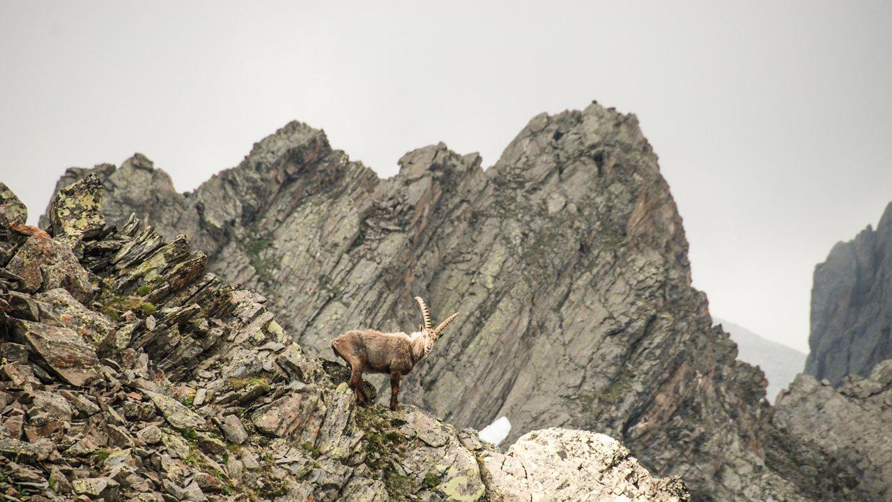 Ibex, © Tirol Werbung /Jannis Braun