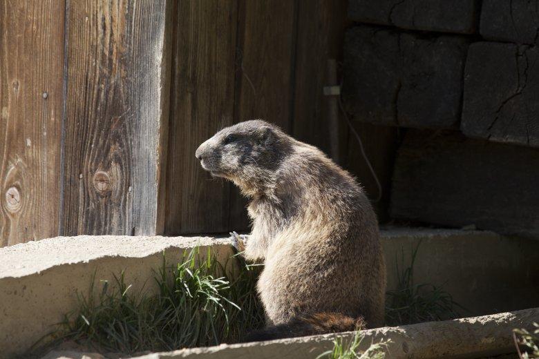 What better pet than a marmot?