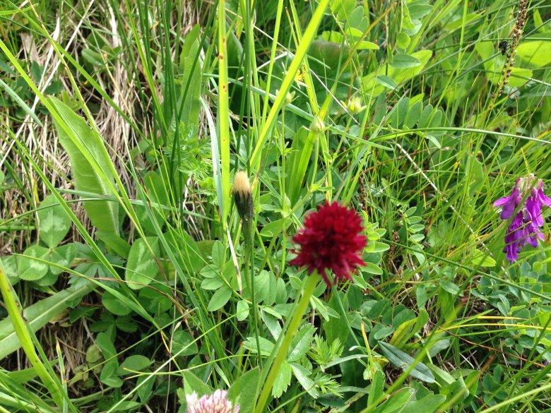Red Vanilla Orchid
