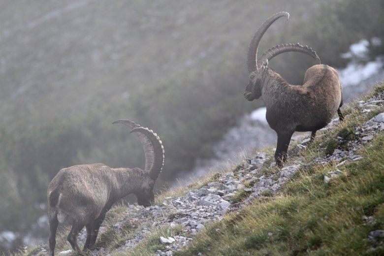 Well known for their climbing abilities, ibexes can be found at elevations of up to 3,500 meters in the summer. (Photo Credit: Patrick Centurioni)