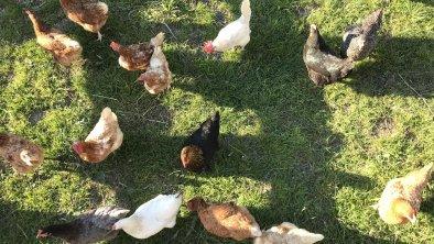 Unsere Hühner - ein bunter Haufen, © Theresia Rahm