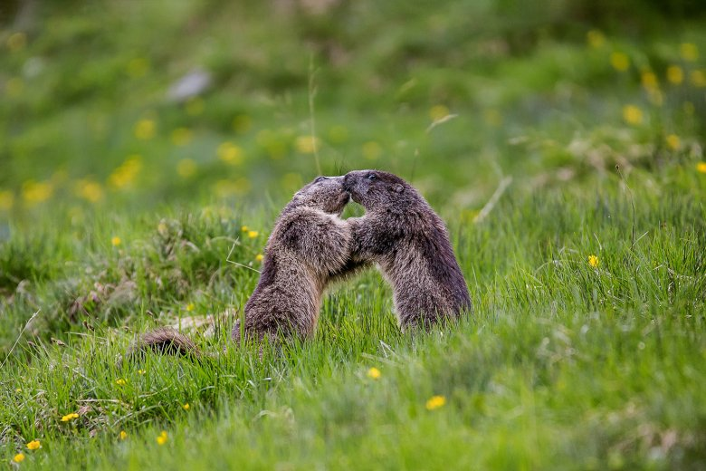 There are lots of Alpine marmots here in this outdoor cathedral that is the national park. , © Hohe Tauern National Park