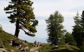 Zirbenweg Trail, © Tirol Werbung/Markus Jenewein