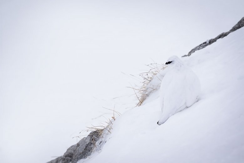 Where's the bird? The white coat helps the ptarmigan to hide in the snow at Hafelekar, high above Innsbruck.