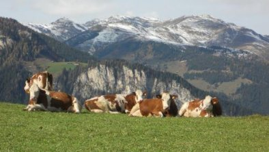 Steinerkogl Kühe