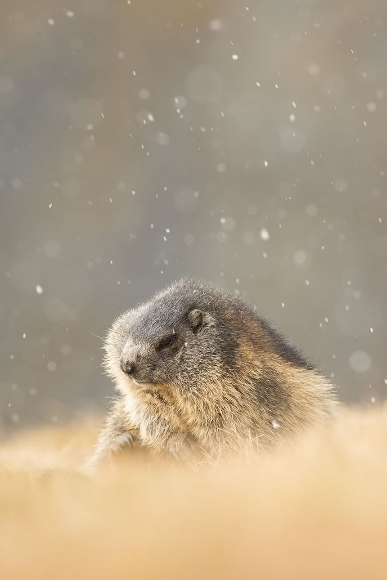 Once the first snow falls, Alpine marmots like this photographed in Stubai Valley, will huddle next to each other and begin hibernation.