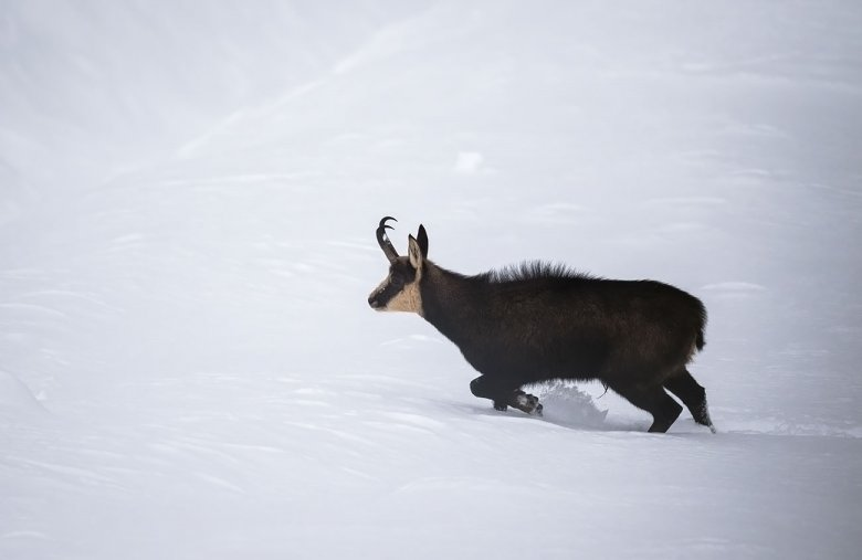 Downward shift: In winter, chamois, like this photographed in Mieming, can be found at lower altitudes.