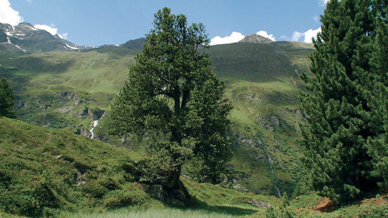 Obergurgl Stone Pine Forest, © Naturpark Ötztal