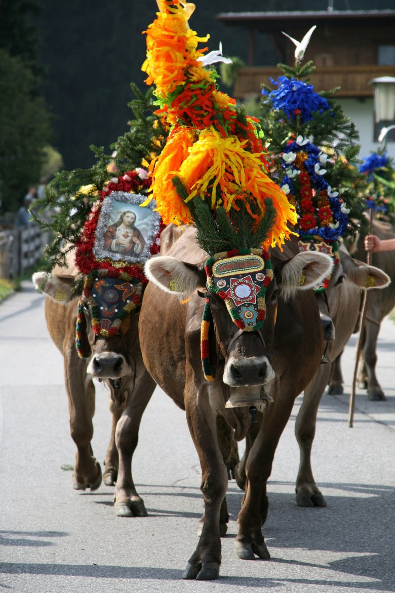The animals are decorated with bells and flowers as a sign of thanks for a summer season without accident or injury.