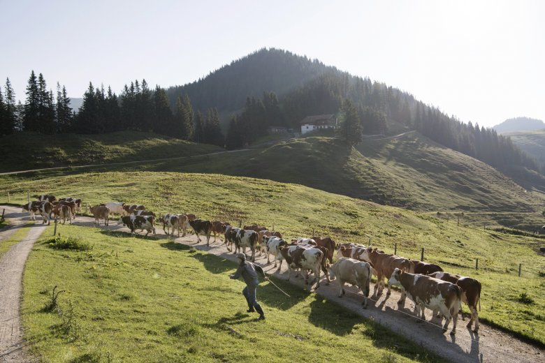 From May through September, 38 happy cows eating native Alpine grasses and with freedom to roam produce rich, high-quality milk at Burgeralm.