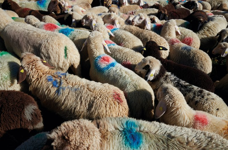 The red, purple, green, and blue dots and circles on the sheep show whom they belong to.