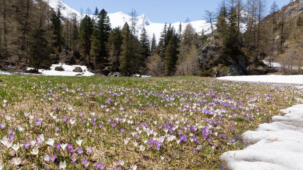 Spring meadow with crocuses, © Tirol Werbung/Mario Webhofer