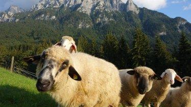 Ferienwohnung Sonja Ebbs - Schafe