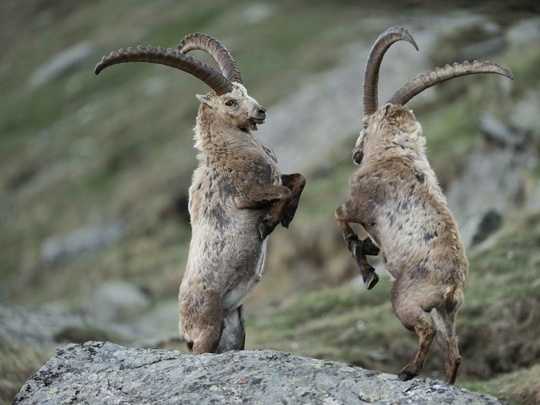 The Alpine ibex (Capra ibex) is a species of wild goat that lives in Austria's Hohe Tauern National Park. , © Hohe Tauern National Park