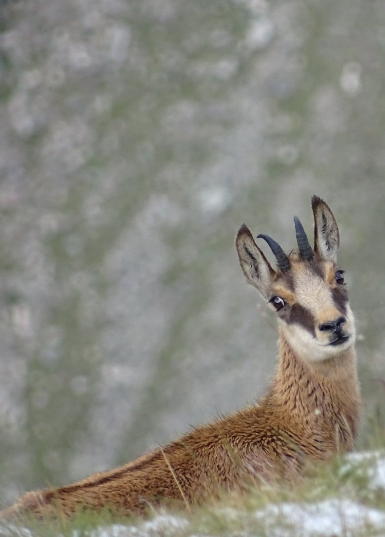 """One of the """"Big 5 of the Alps"""" who call the National Park home, the chamois. , © Hohe Tauern National Park"""