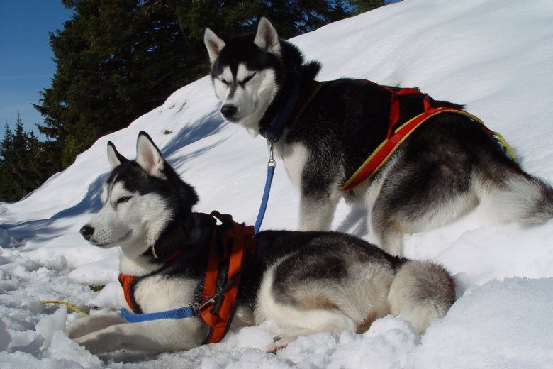 Husky Adventure in Söll, Photo Credit: TVB Wilder Kaiser